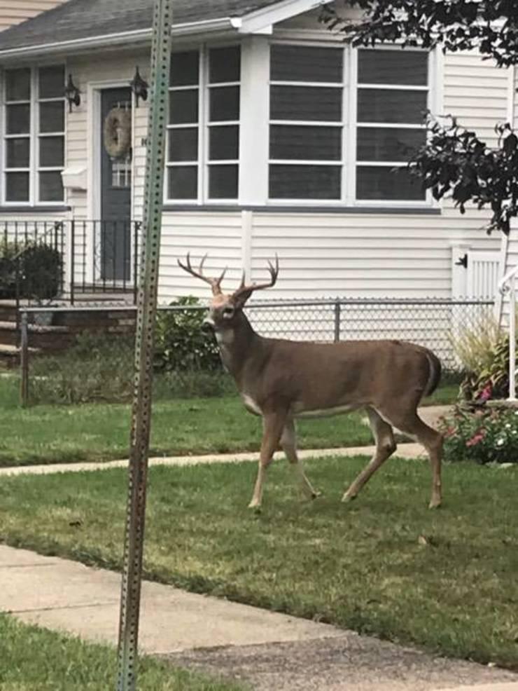 Deer Lauren Holic 2019 Oct 9.jpg
