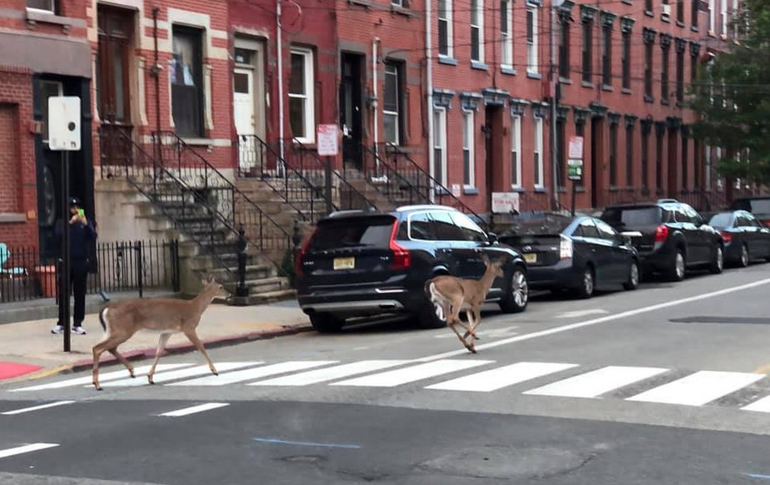 Deer on 10th and Garden - James Aibel photo.png