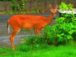 Carousel image 6ff62a6d57a5055f767a deer in yard july 6 2017