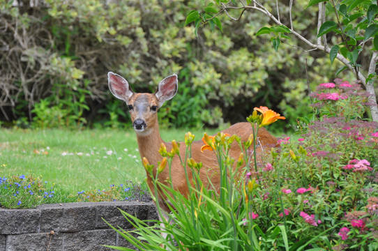 Top story f3d47ce317f05fd95013 deer in garden
