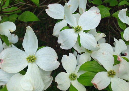 Top story 0f427d1b3721f4735943 dogwood blossums by christopher sessums
