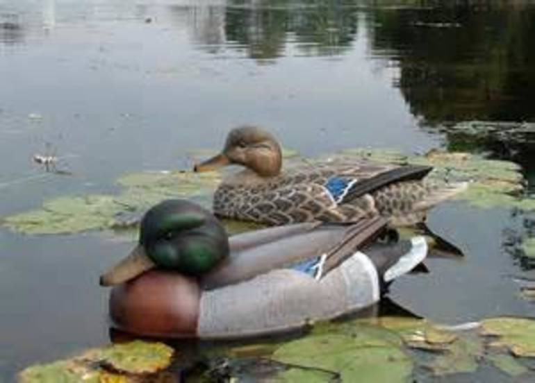 Duck and Decoy