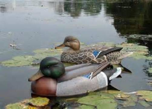 Top story d92478bd41b92439ccd9 duck and decoy