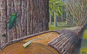 Emerald Ash Borer, Ash trees Roxbury