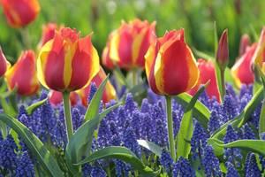 Carousel image 270c757d298f39bd0203 early single tulip flair with muscari armeniacum lg