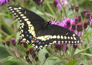 Carousel image 671d441909b542849cde eastern black swallowtail