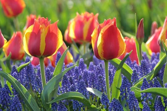 Top story 270c757d298f39bd0203 early single tulip flair with muscari armeniacum lg