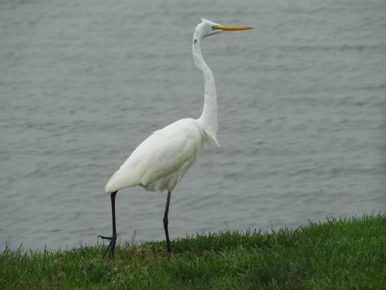 Egret on grass.jpg