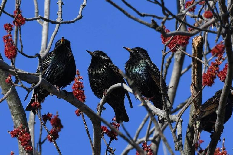 European Starlings.jpg