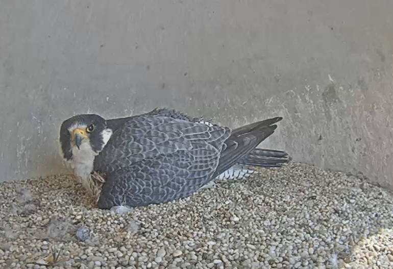 Endangered Peregrine Falcons Welcome a New Arrival in Elizabeth