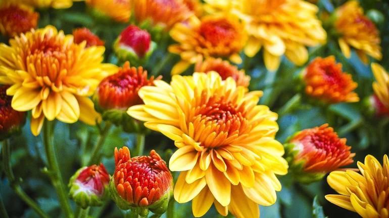 Fall-garden-mums-by_Lisa_Baird_Pixabay173754_1920.jpg