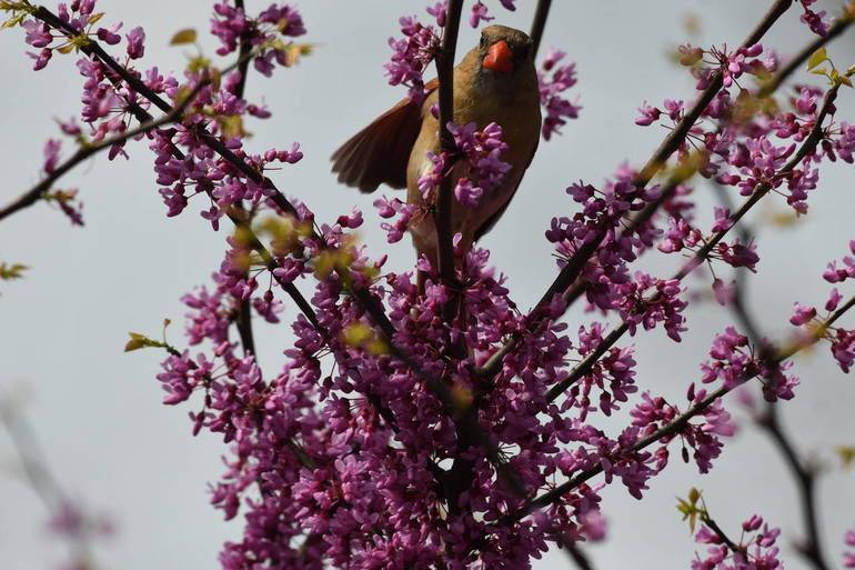 Female cardinal.jpeg