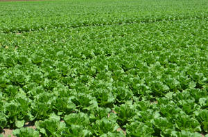 Carousel image 54af4ca0636e593e0bc0 file photo of romaine lettuce field during the summer of 2018 nj dept. of agriculture