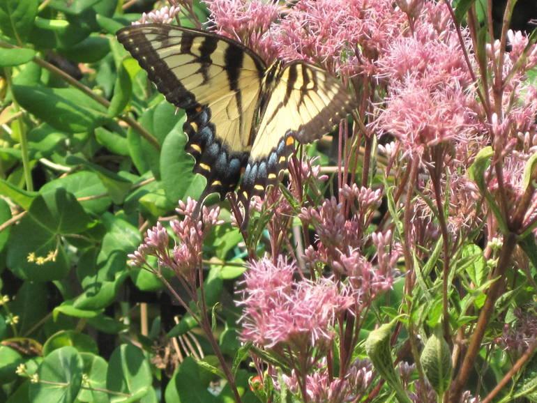 Gail-Easter Tiger Swallowtail on Joe Pye.JPG