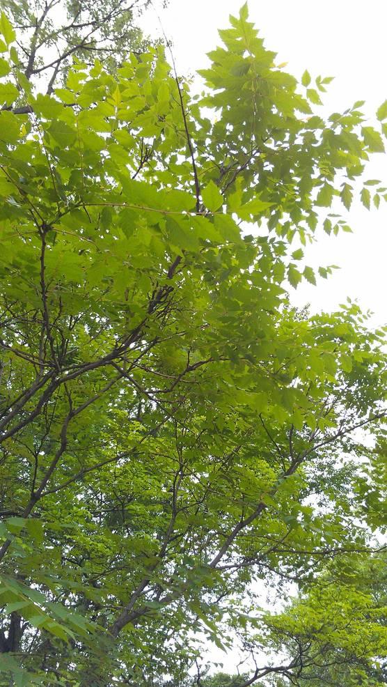 Golden Rain Tree.jpg