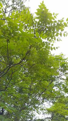Carousel image c1f75d1341dd8e266cb4 golden rain tree