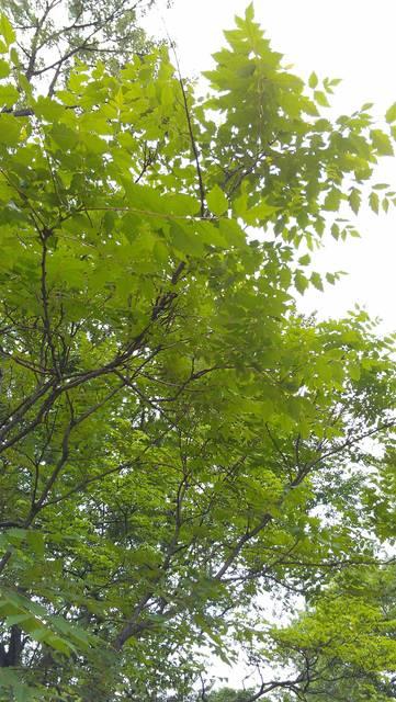 Top story c1f75d1341dd8e266cb4 golden rain tree