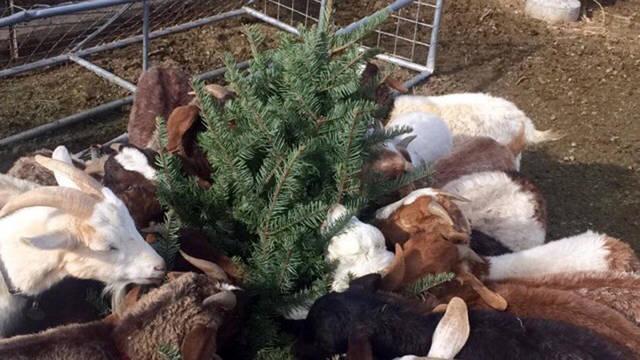 Top story cc798f92d2cf0db9cb97 goats