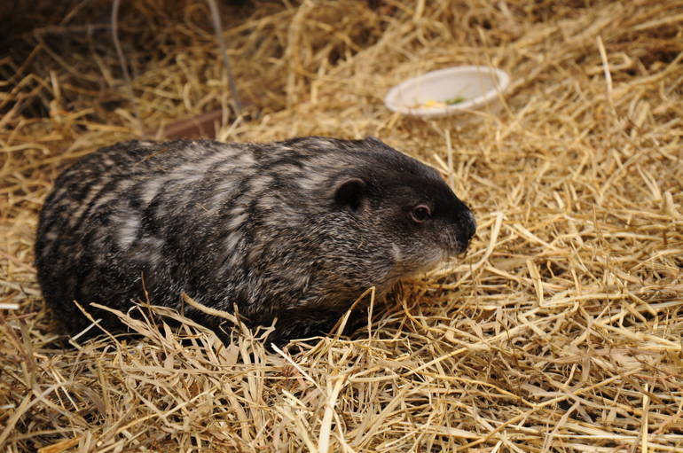 Essex County Groundhog Does Not See his Shadow, Predicts ...