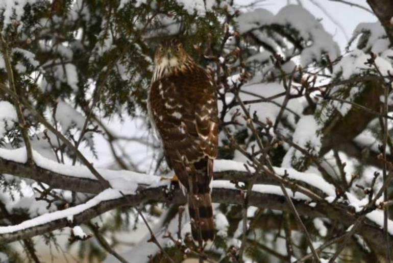 Hawk in Hollys Yard.JPG