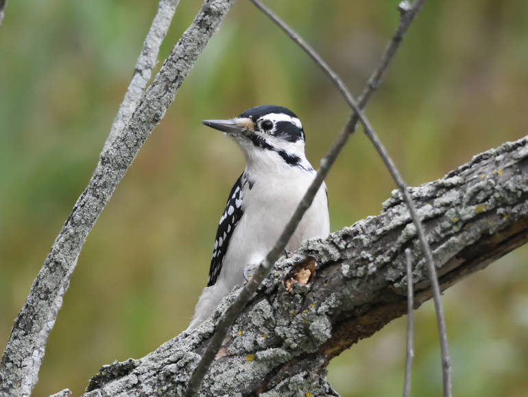 Hairy_Woodpecker.jpg