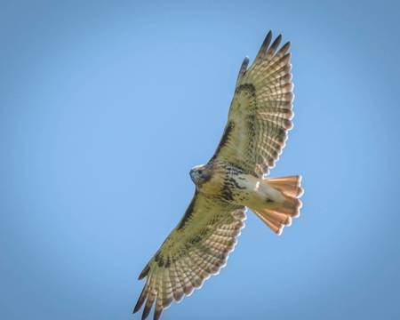 Top story 4aee4104f63c37f01d22 hawkwatch red tail by george mikhail 2016 09 05