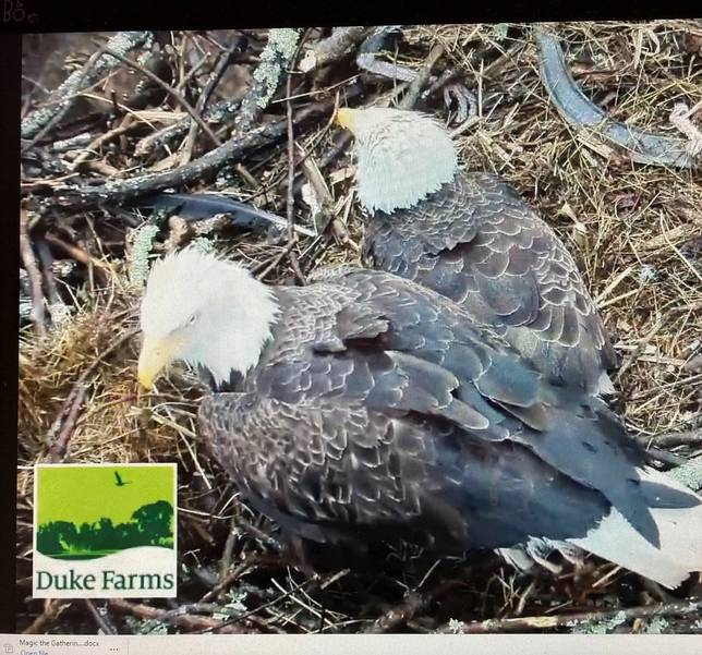 Signs of Life at Hillsborough Eagle Nest: First Chick Hatches, Two to Go