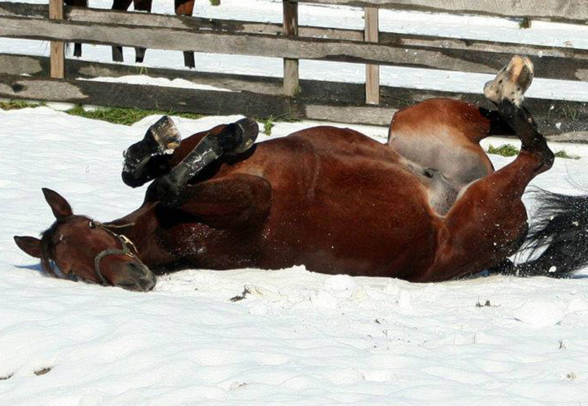horse rolling.JPG
