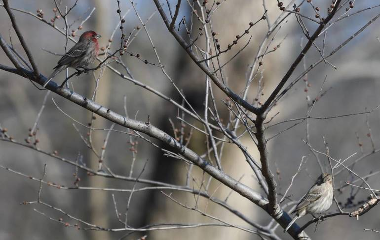 house finch.jpeg