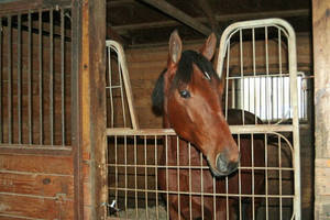 Carousel_image_fd6a7ec12bdcc83714d9_horse_in_stall