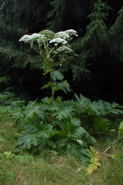 Top story 57cacf1a09108819afd7 hogweed