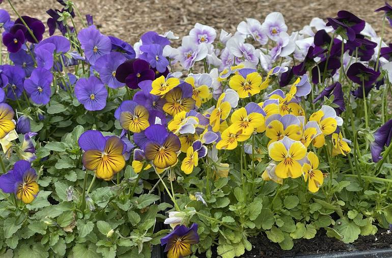 Pick a Pack of Pansies at Sparta Nursery and Garden Center