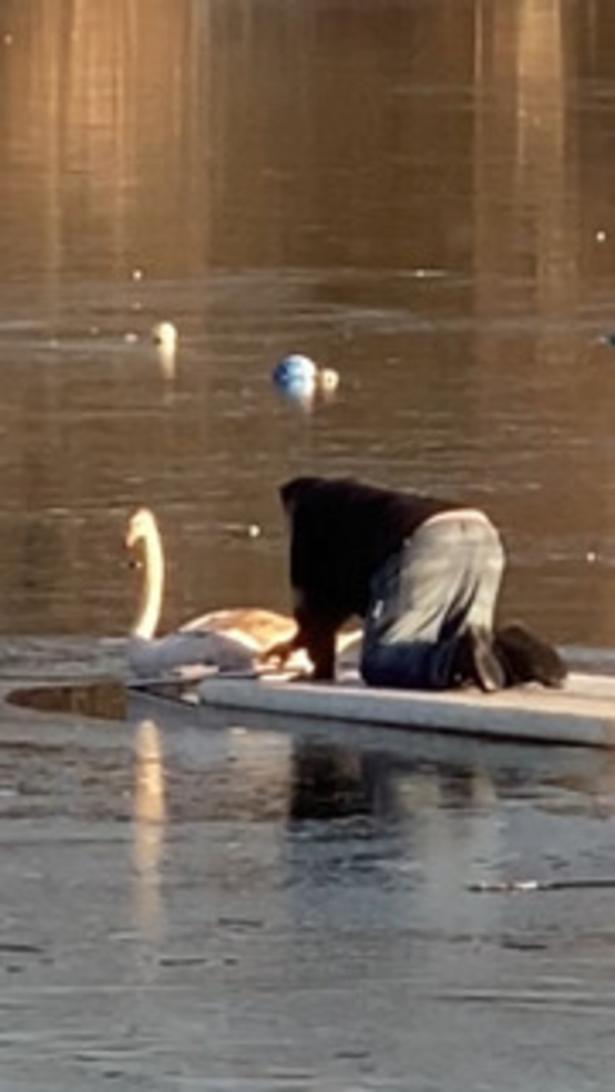 Lakeside Bartender Rescues Swan Trapped in Packanack Lake