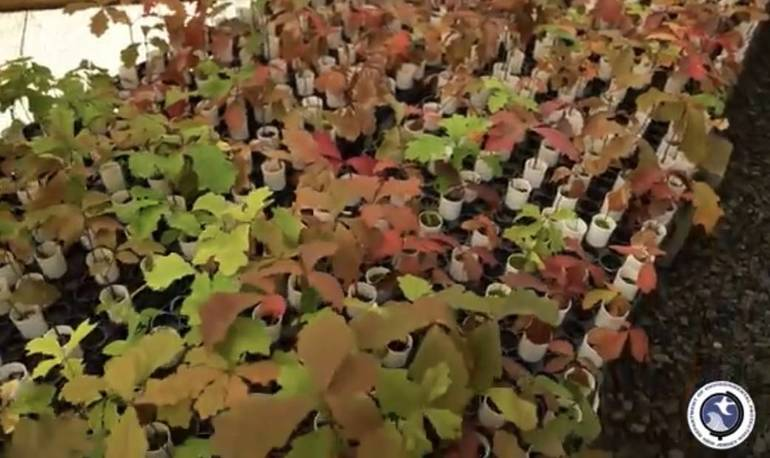 Salem Oak seedlings