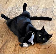 Black Cat Missing in Westfield: Have You Seen Inky?
