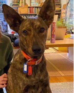 Loving, sweet, gentle but strong dog needs an adoptive or foster family