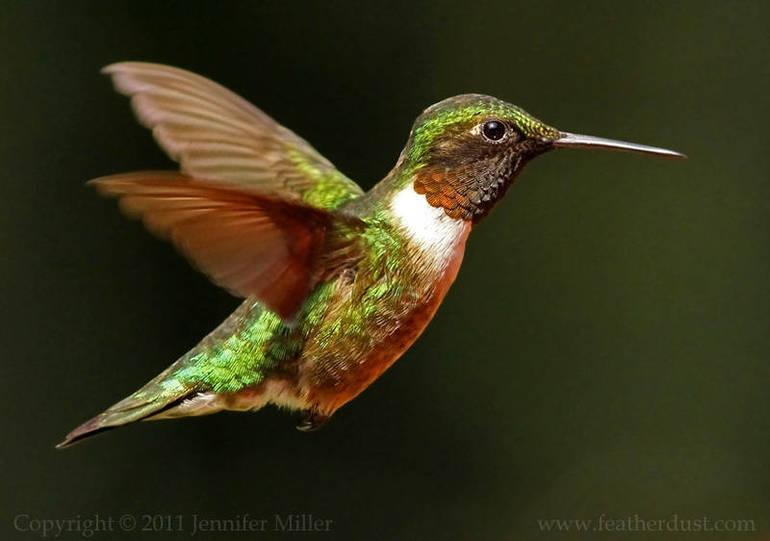 Ruby-throated hummingbird.jpg