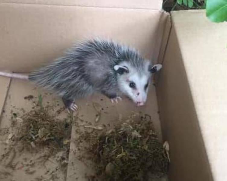 Opossum Found in Westfield NJ