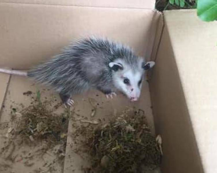 Opossum Found in Westfield NJ