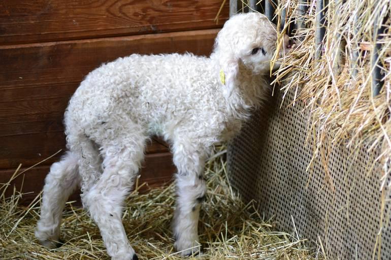 lamb-stall-straw-bales-175608.jpg