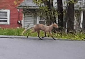 Fox Spotted on Montclair Avenue in Little Falls