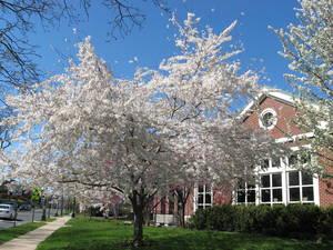Carousel image 929bc2fdb4785c3fde7f library cherry trees 002