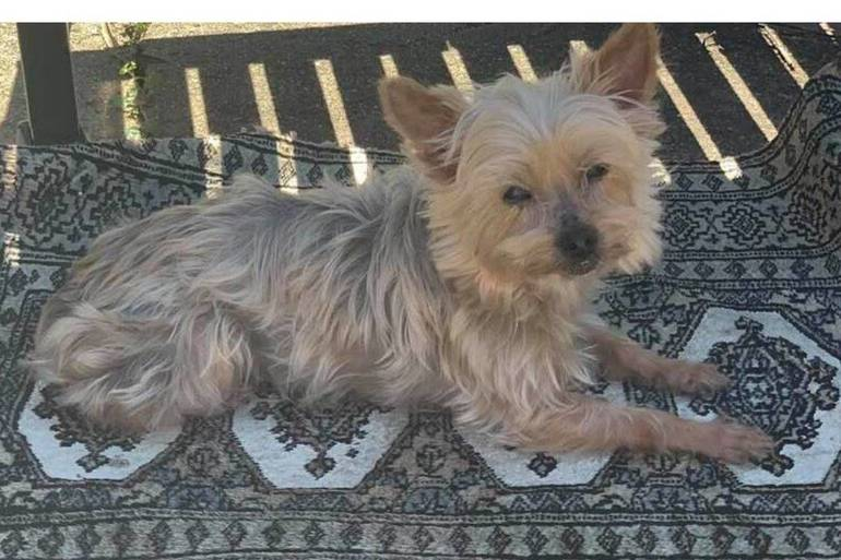 LOST DOG MINDY 4 LB YORKIE AREA OF MAPLE AVE SOUTH BOUND BROOK.jpg