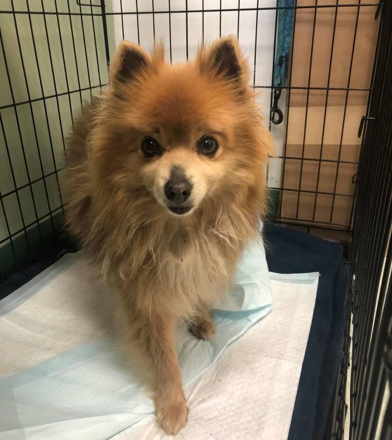 Hamilton Animal Shelter Looking for Petite Pomeranian's Family
