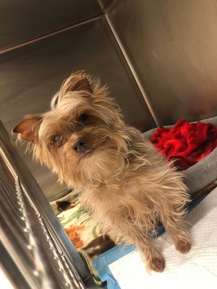 Hamilton Animal Shelter Looking to Return Little Lost Yorkie Home
