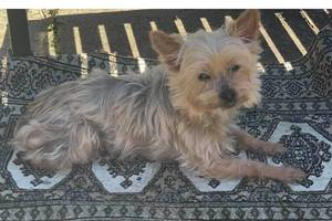 Carousel_image_5a8250c1876379366f2c_lost_dog_mindy_4_lb_yorkie_area_of_maple_ave_south_bound_brook