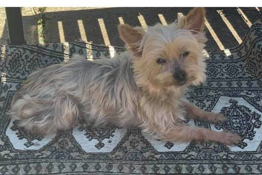 Top_story_5a8250c1876379366f2c_lost_dog_mindy_4_lb_yorkie_area_of_maple_ave_south_bound_brook