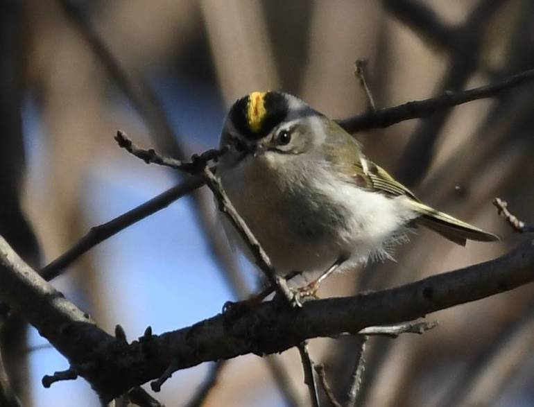 Male Golden Crowned Kinglet.jpg