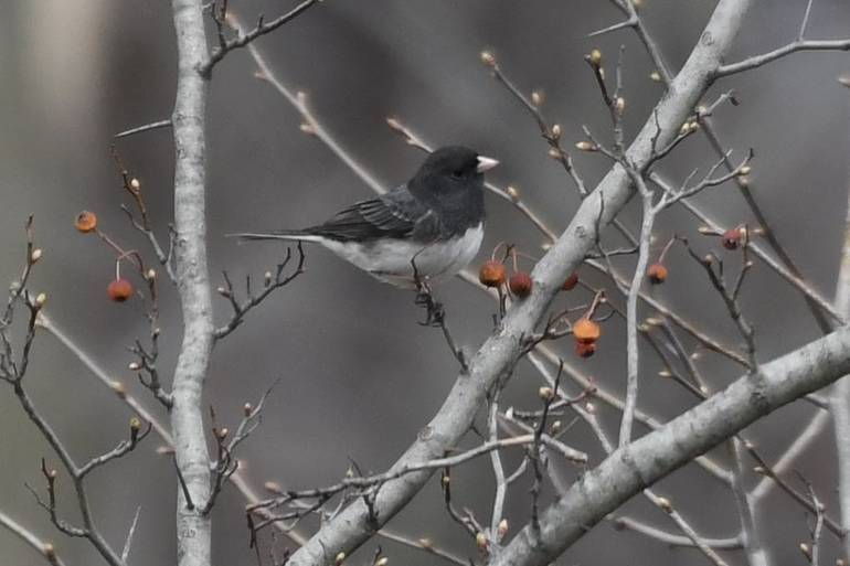 Male Junco they live here in winter will be leaving soon.jpg