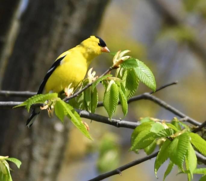 Male Goldfinch NJ State Bird.jpeg